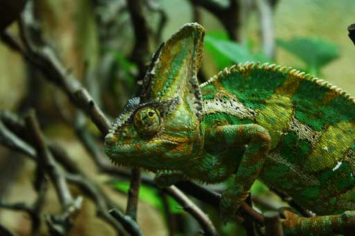 Chameleon at Dublin Zoo