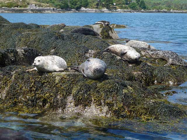 Seals on Garinish Island
